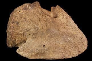 "Buy 3.8"" Hadrosaur Ungal - Alberta (Disposition #000028-29) - #95482"
