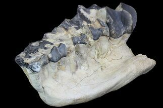 "11.1"" Titanothere (Megacerops) Jaw Section - South Dakota For Sale, #95207"
