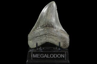 "Serrated, 4.87"" Fossil Megalodon Tooth - Georgia For Sale, #95489"