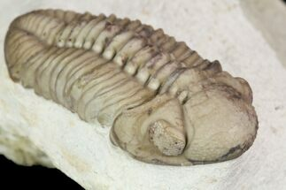 "Detailed, 1.4"" Long Kainops Trilobite - Oklahoma For Sale, #95690"