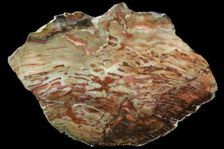 "Buy 12.8"" Jurassic Petrified Wood Slab - Henry Mountain - #96064"