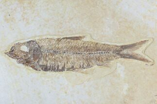 "Buy 3.55"" Detailed Fossil Fish (Knightia) - Wyoming - #96106"