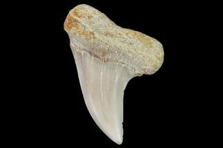 "Buy 1.6"" Mako Shark Tooth Fossil - Sharktooth Hill, CA - #94666"