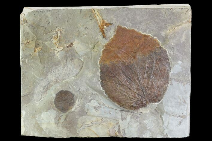 Two Fossil Leaves - Davidia And Zizyphoides - Montana