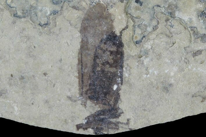 Bargain, Fossil March Fly (Plecia) - Green River Formation