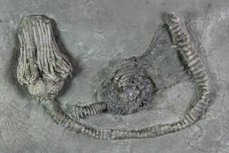 Pair Of 3D Platycrinites Crinoid Fossils - Crawfordsville, Indiana For Sale, #94739