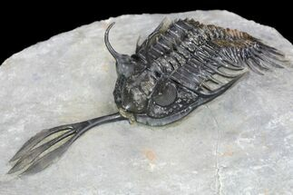 "2.45"" Walliserops Trilobite (Unusual Locality) - Msissi, Morocco For Sale, #96821"