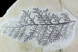Brachyphyllum - Fossils For Sale - #97476