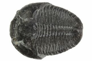 Elrathia kingii - Fossils For Sale - #97047