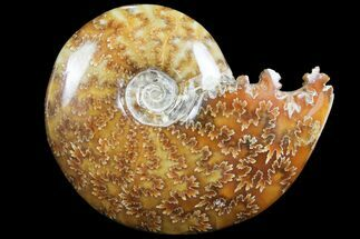 "Buy 4.1""  Polished, Agatized Ammonite (Cleoniceras) - Madagascar - #97294"