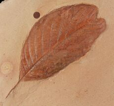 "Buy 3.4"" Detailed, Red Fossil Leaf (Aesculus) - Montana - #97732"