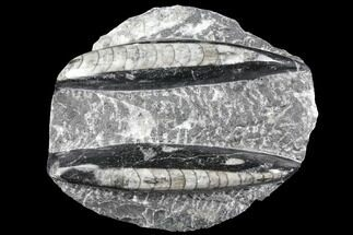 Polished Orthoceras (Cephalopod) Fossils - Morocco For Sale, #96611