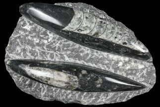 Buy Polished Orthoceras (Cephalopod) Fossils - Morocco - #96613