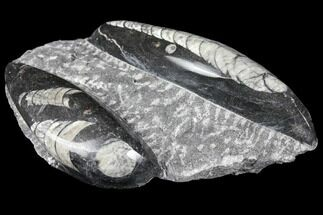 Polished Orthoceras (Cephalopod) Fossils - Morocco For Sale, #96614