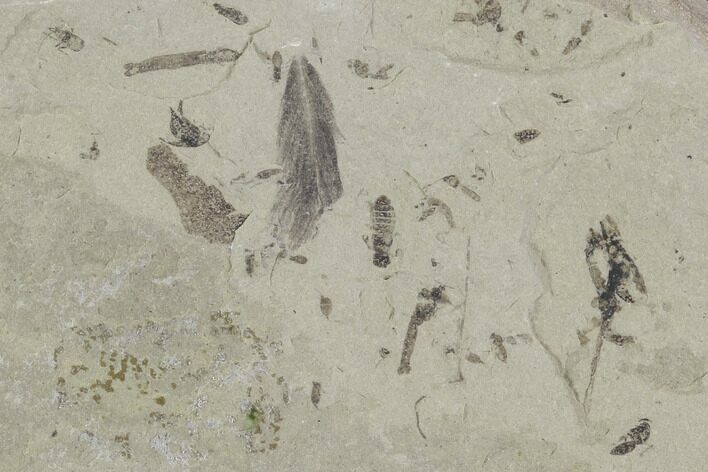 Fossil Feather & Insects - Green River Formation, Utah