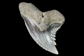 "Buy .7"" Hemipristis Shark Tooth Fossil - Virginia - #96529"
