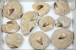 "Buy Wholesale Lot: 1.5"" Fossil Mosasaur Teeth In Rock - 10 Pieces - #98296"