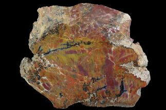 "Buy 7.2"" Wide, Polished Petrified Wood Section - Arizona - #98407"