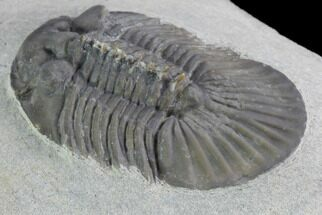 "Buy 1.8"" Scabriscutellum Trilobite - Tiny Axial Spines - #98587"