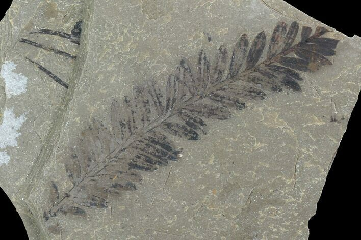 Metasequoia Fossil - Cache Creek, BC