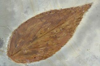 Celtis aspera - Fossils For Sale - #99432