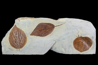 Three Detailed Fossil Leaves - Glendive Montana For Sale, #99446