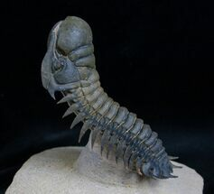 Buy Flying Crotalocephalina Trilobite - Spectacular! - #7138