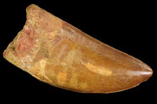 "Buy Serrated, 2.7"" Carcharodontosaurus Tooth - Real Dinosaur Tooth - #99790"