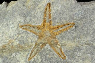"2.7"" Ordovician Starfish (Petraster) - Morocco For Sale, #100127"