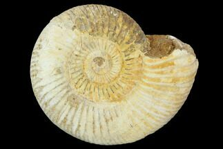 Perisphinctes - Fossils For Sale - #100212