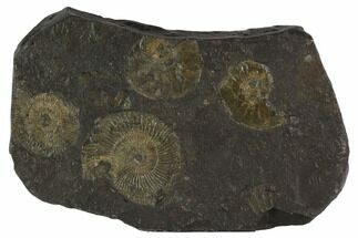 "Buy 4.4"" Dactylioceras Ammonite Cluster - Posidonia Shale, Germany - #100261"