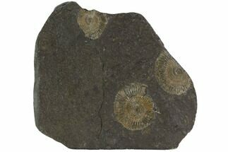 "5.1"" Dactylioceras Ammonite Cluster - Posidonia Shale, Germany For Sale, #100268"