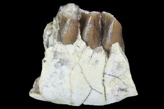 "1.2"" Oligocene Ruminant (Leptomeryx) Jaw Section - South Dakota For Sale, #100424"