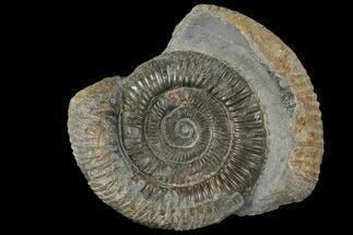 "Buy 2.4"" Dactylioceras Ammonite Fossil - England - #100474"