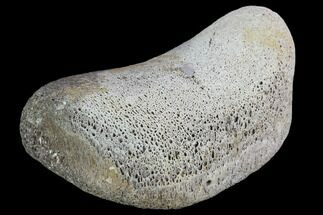 "1.6"" Hadrosaur Foot Bone - Alberta (Disposition #000028-29) For Sale, #100520"