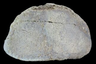 "Buy 3"" Hadrosaur Foot Bone - Alberta (Disposition #000028-29) - #100528"