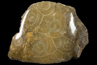 Actinocyathus sp. - Fossils For Sale - #100572