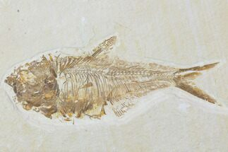 "Bargain, 4.7"" Diplomystus Fossil Fish - Wyoming For Sale, #100601"