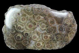 "4.7"" Polished Fossil Coral (Hexagonaria) - Morocco For Sale, #100721"