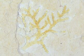 Brachyphyllum - Fossils For Sale - #100809