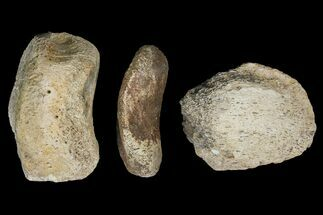 "6.9"" Composite Hadrosaur Finger - Alberta (Disposition #000028-29) For Sale, #100790"