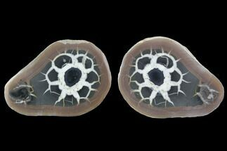 "3.2"" Cut/Polished Septarian Nodule Pair - Morocco For Sale, #101213"