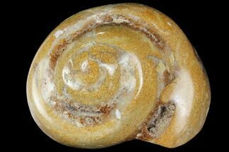 "3.5"" Polished Fossil Gastropod - Madagascar For Sale, #101138"