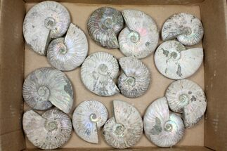 "Wholesale Lot: 3.5-4.5"" Silver Ammonite Fossils - 14 Pieces For Sale, #101591"