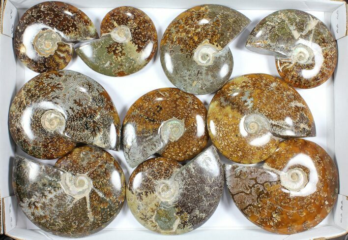 "Wholesale Lot: Polished Ammonites (3.9 -5.8"") - 10 Pieces"