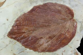 "3.5"" Fossil Leaf (Beringiaphyllum) - Montana For Sale, #101957"