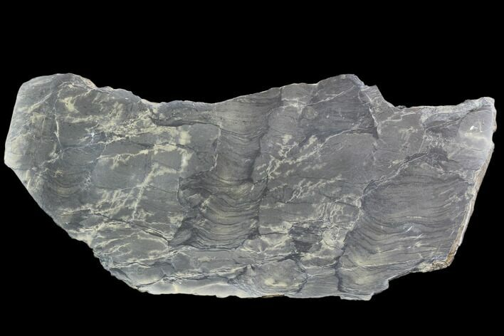 "10.2"" Polished Stromatolite From Russia - 950 Million Years"