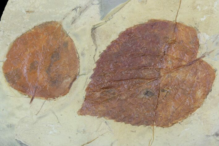 Two Fossil Leaves (Beringiaphyllum, Zizyphoides) - Montana