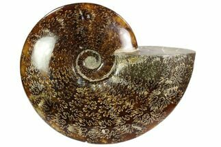 "7.2"" Polished, Agatized Ammonite (Cleoniceras) - Madagascar For Sale, #102599"