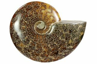 "Buy 7.0"" Polished, Agatized Ammonite (Cleoniceras) - Madagascar - #102610"